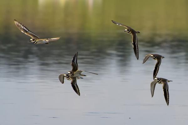 Flight of the killdeer by jbsaladino