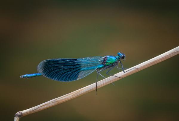 Male Banded Demoiselle by jasonrwl