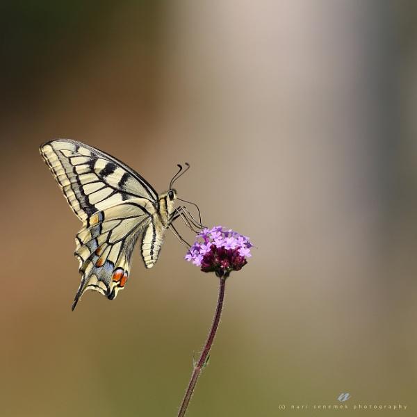 swallowtail by senn