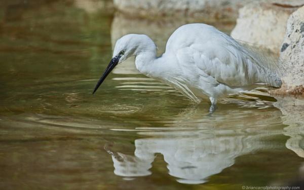 "Little Egret ""Egretta Garzetta"""