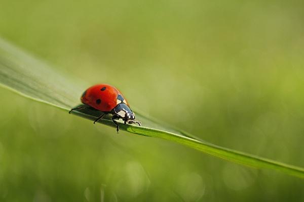 Ladybug by Ella1