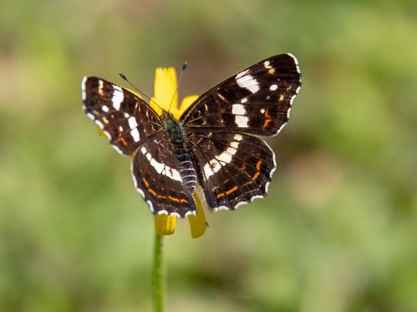 Butterfly by Stevetheroofer