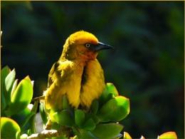 Male Cape weaver bird