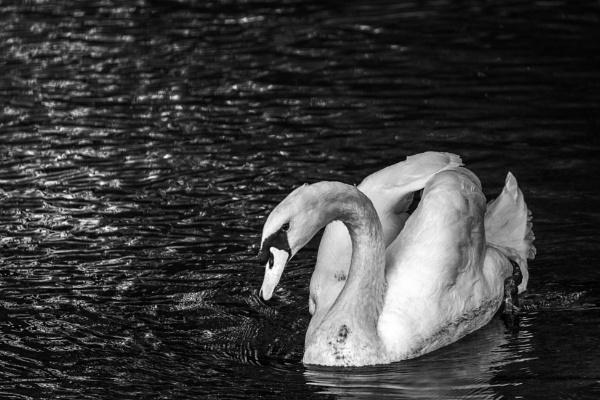 Swan by rninov