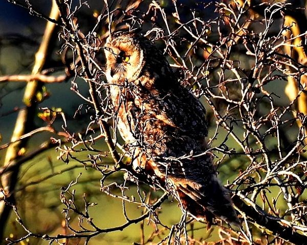 Long-Eared Owl by protrekker1