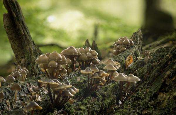 Toadstools on Fallen Log