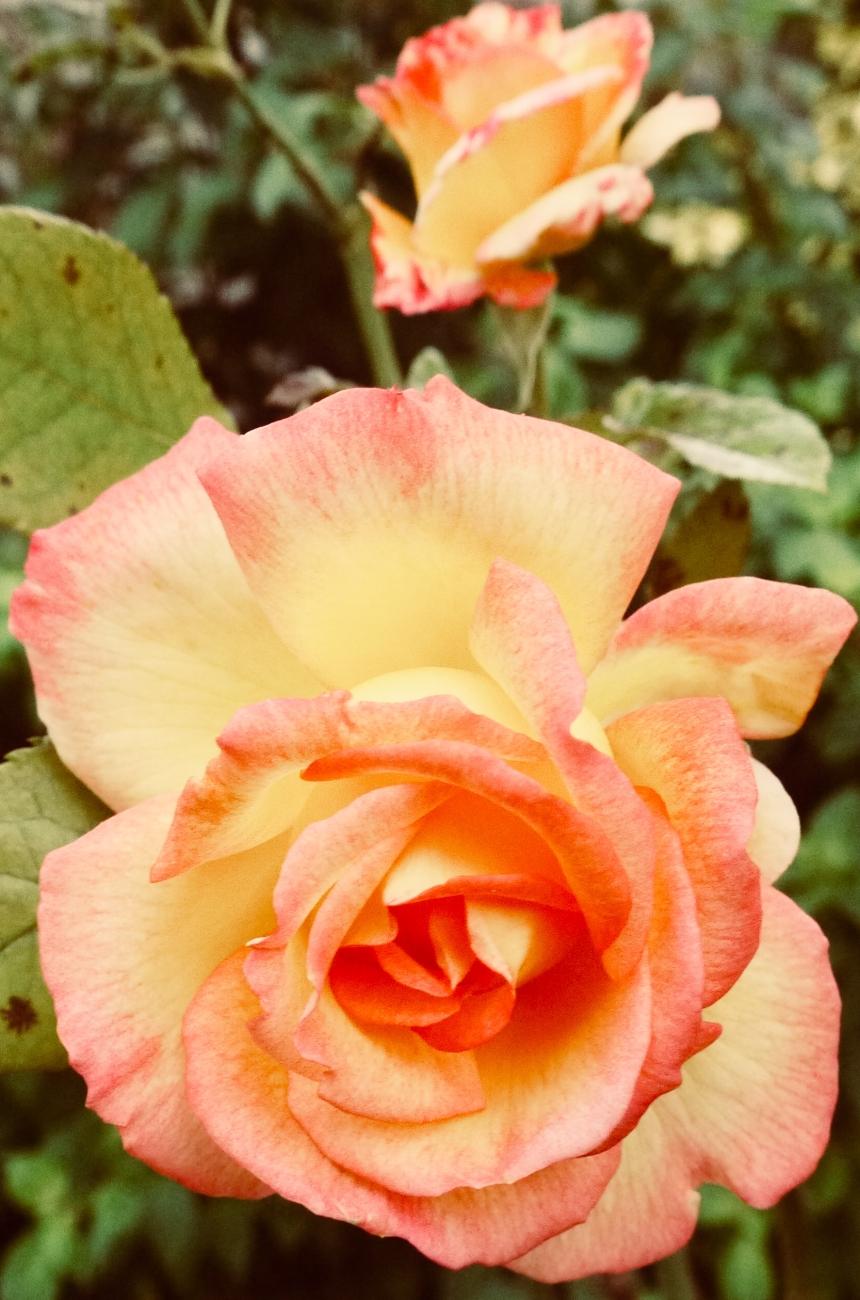 Mum in a Million Rose.