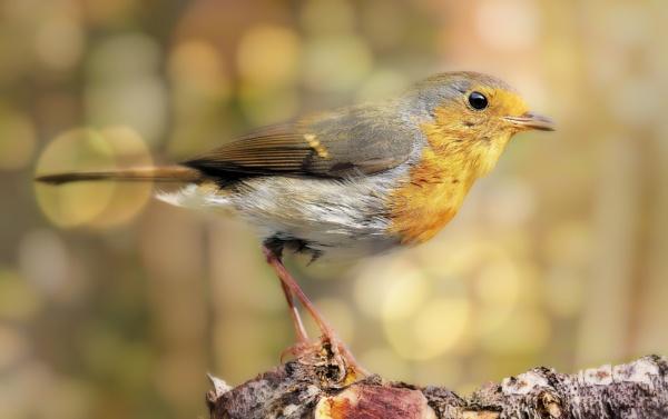 """""""Autumn Robin""""."""