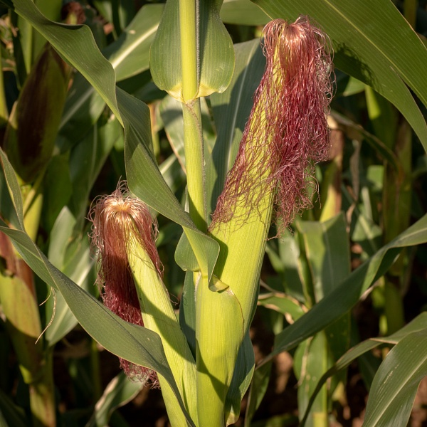 Maize by philstan