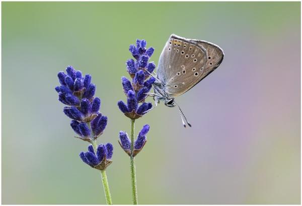 Purple-edged Copper by KasiaB