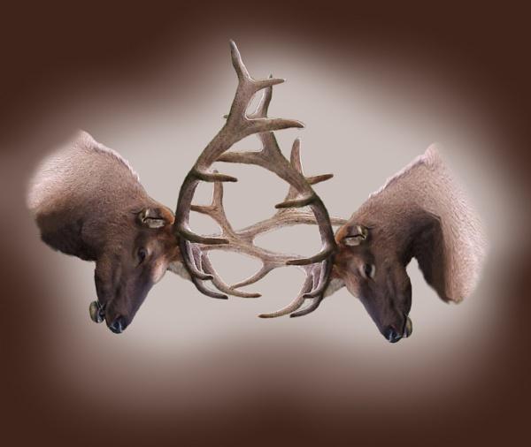 Battling Bulls by Aeros