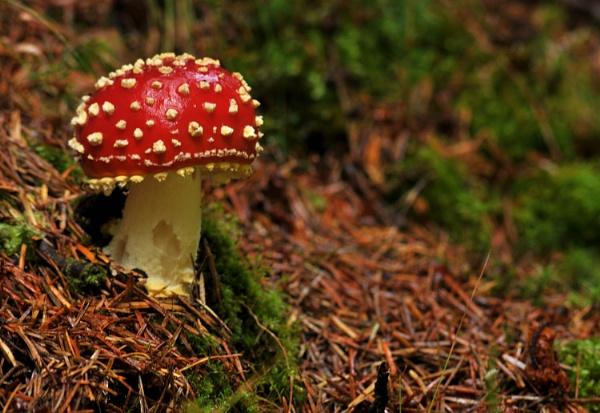 Amanita muscaria by viscostatic