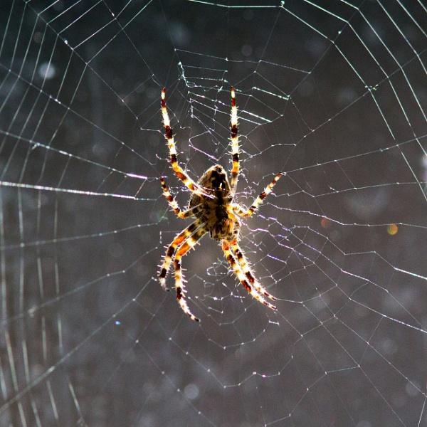 Garden Spider by oldgreyheron