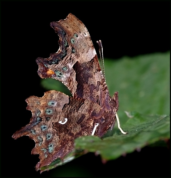 """Comma-Polygonia c-album 02..\"" by Badgerfred"