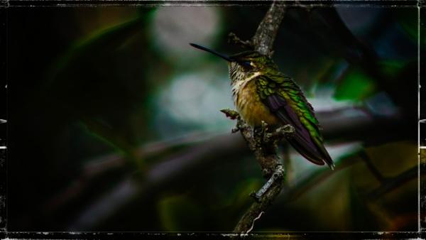 Hummingbird by GeorgeP