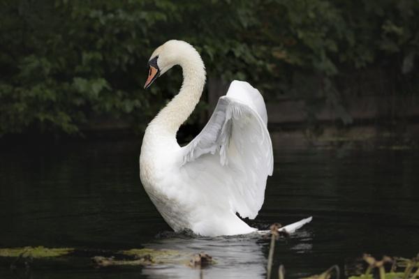Mute Swan by Eddie91