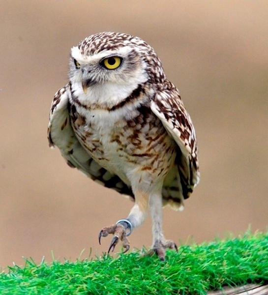 Burrowing Owl by peterthowe