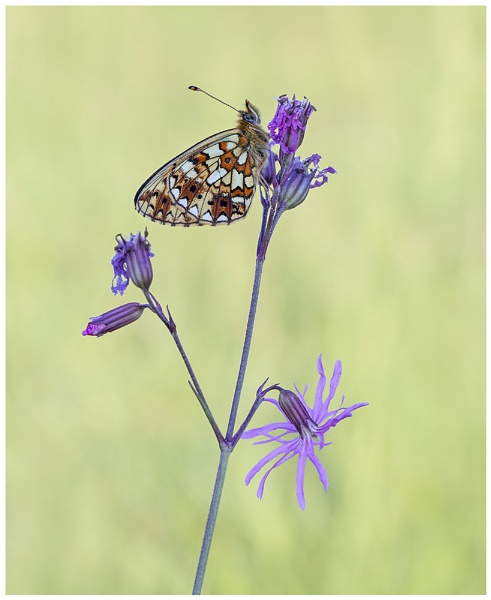 Small Pearl Bordered Fritilary by NigelKiteley