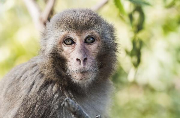 Macaque 2