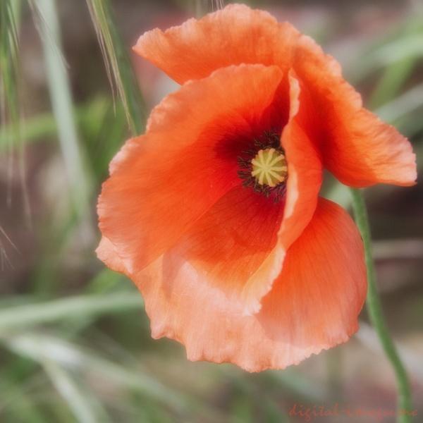 A Roadside Poppy by Alan_Baseley