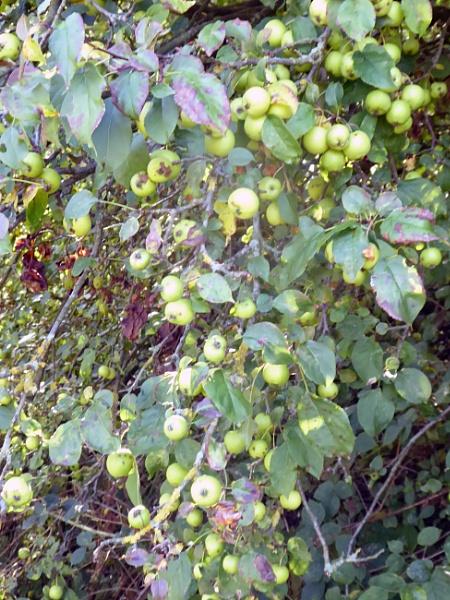 Tree Bearing Fruit by Gypsyman