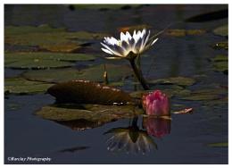 Lillies on a pond