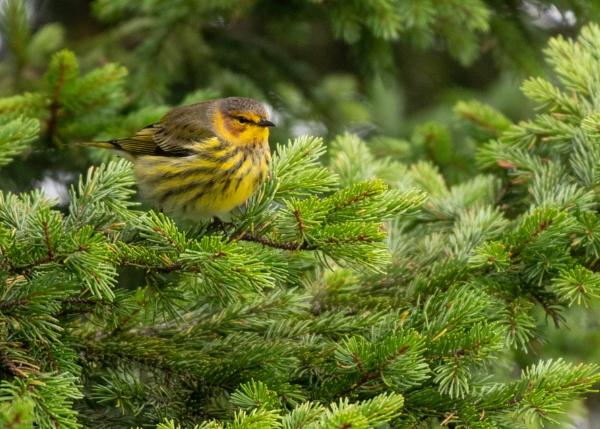Cape May warbler by JeffGresko