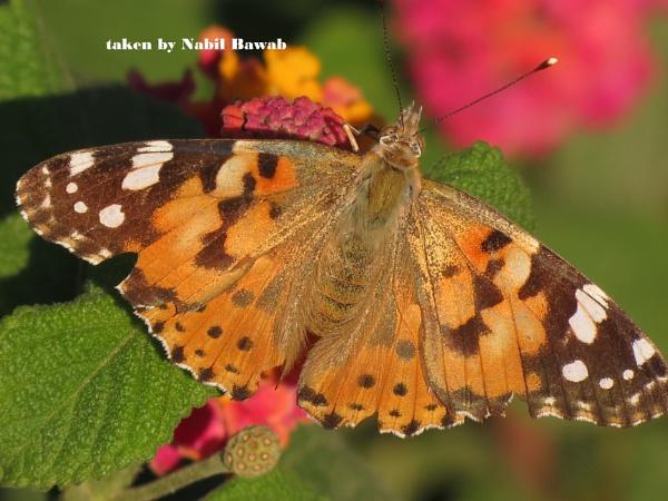 a butterfly by bulbulov