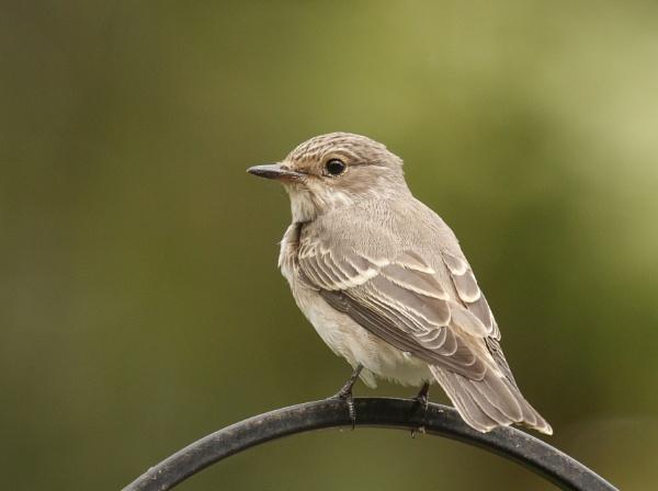 Spotted Flycatcher by ali63