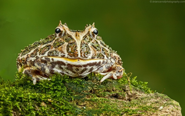 South American Horned Frog by brian17302