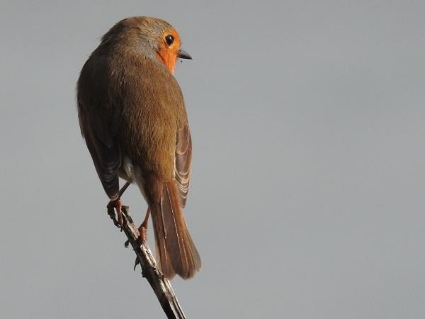 Robin by DaveHoskins