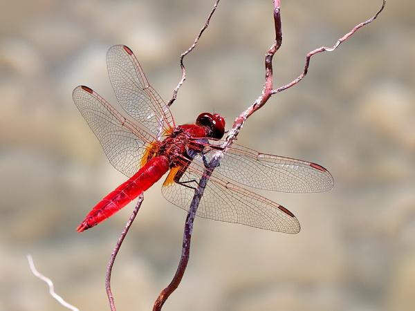 Scarlet Darter by mattberry
