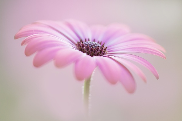 Cape Daisy by janedibnah
