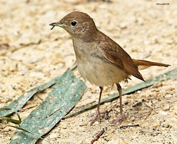 Nightingale from southern France by DaveNewbury