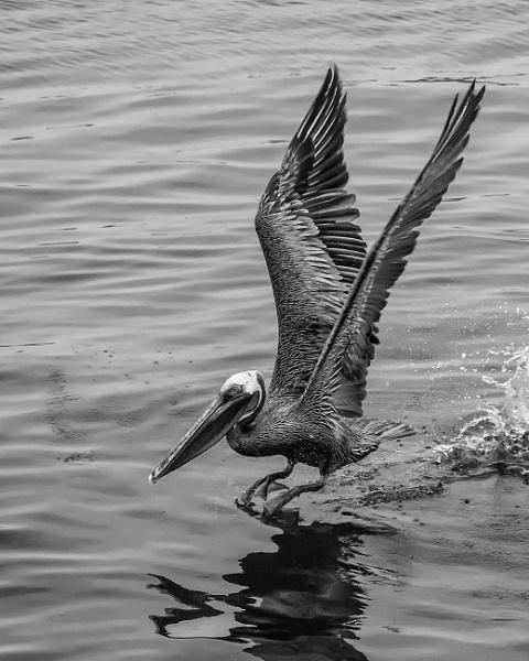 Galapagos Pelican I by barryyoungnz