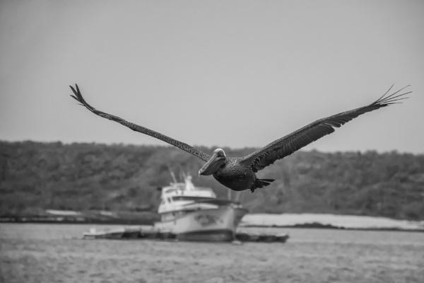 Galapagos Pelican II by barryyoungnz