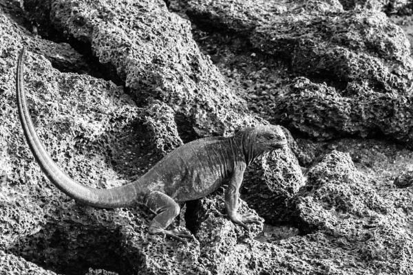Marine Iguana III by barryyoungnz