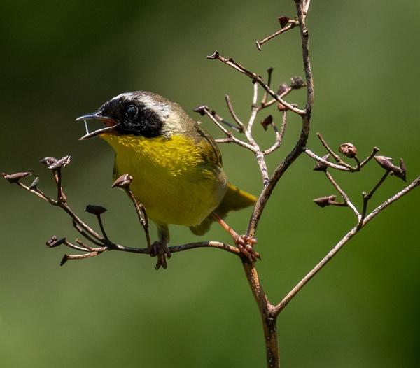 Common Yellowthroat by HoiPolloi