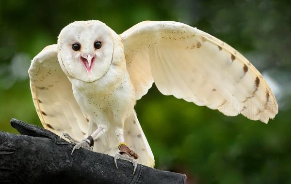 Oliver the Barn Owl by HoiPolloi