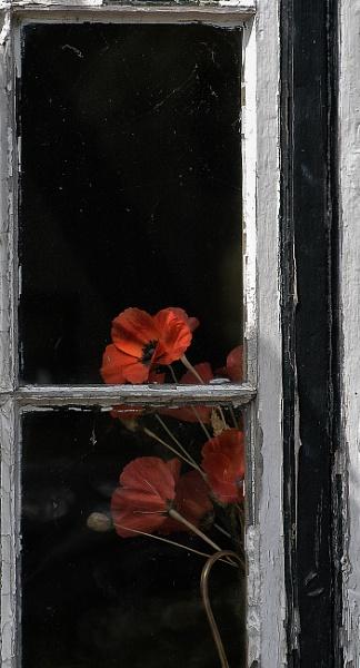 Window Poppy by Zydeco_Joe