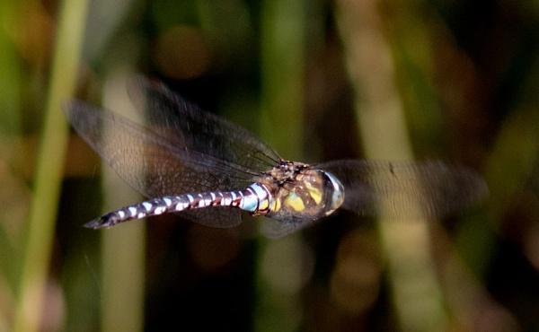 Migrant Hawker dragonflies by oldgreyheron