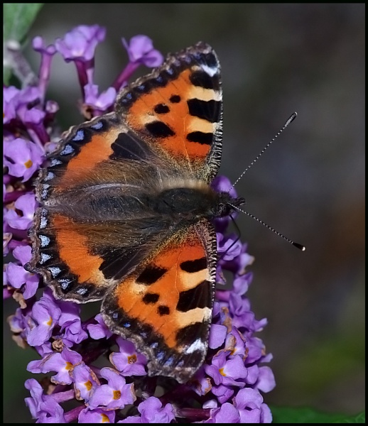 Small Tortoiseshell Nectaring on a Buddleia... by Badgerfred