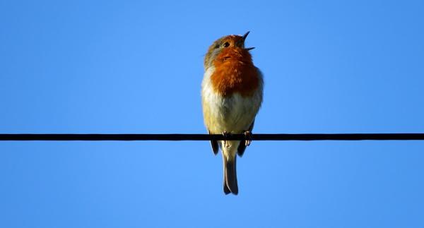 Singing Robin by SUE118