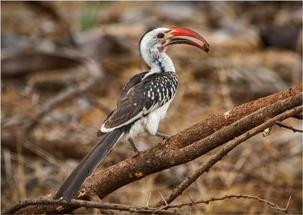 Hornbill by mjparmy