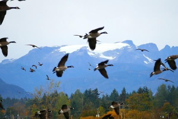 Glacier  Geese by tonyguitar