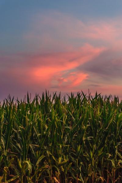 Sunset above corn field by Igmugleza