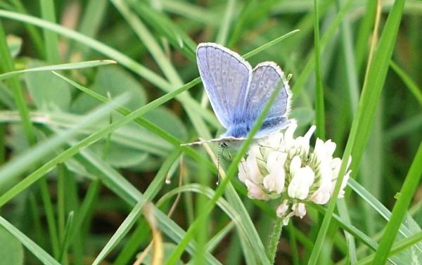 Blue on clover