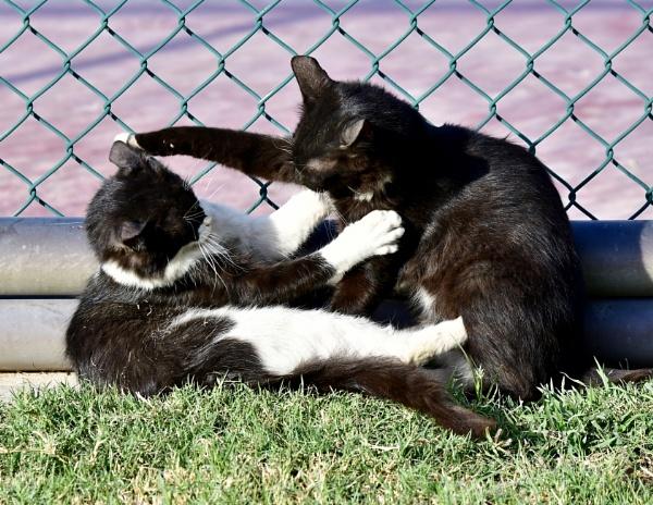 Cats Play by Savvas511