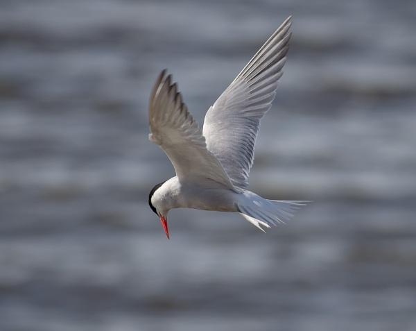 Tern by SocksAndStuff