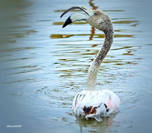Juvenile Flamingo by DaveNewbury